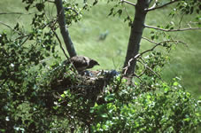 Hawk hatchlings picture 2