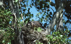 Hawk hatchlings picture 3